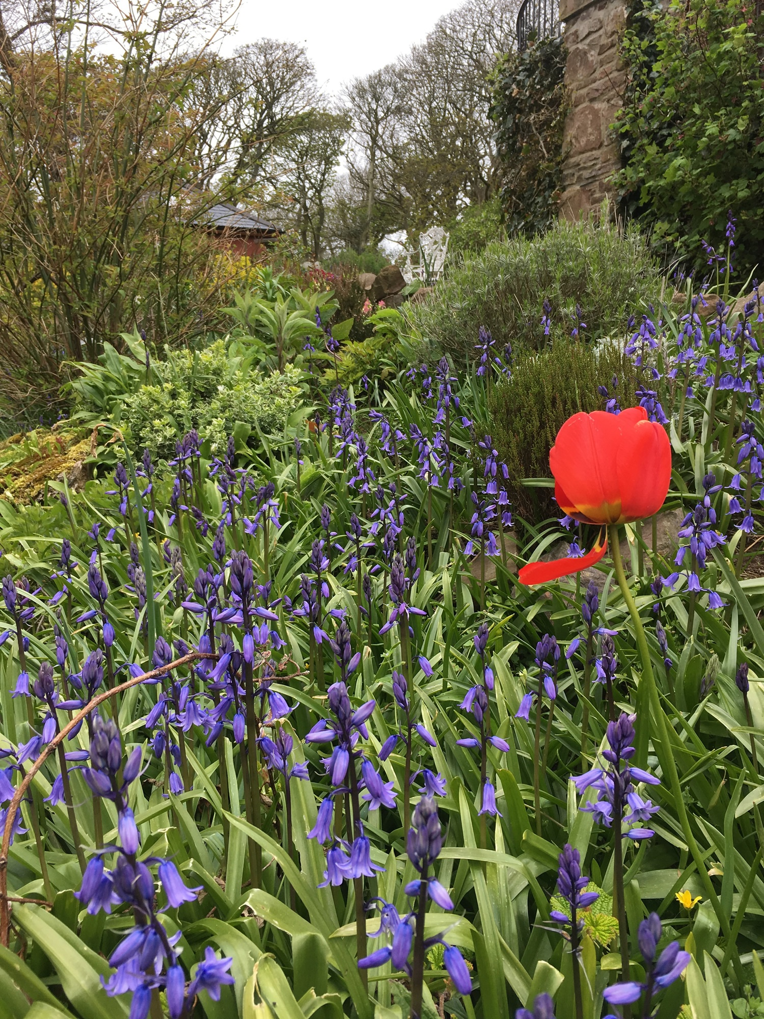 Bluebells and tulip